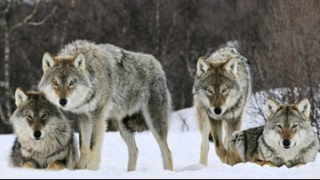 Washington agency to look at other wolf management tools