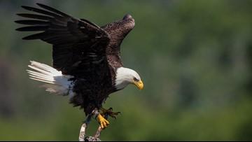 Idaho police warn of traffic hazards as bald eagles return