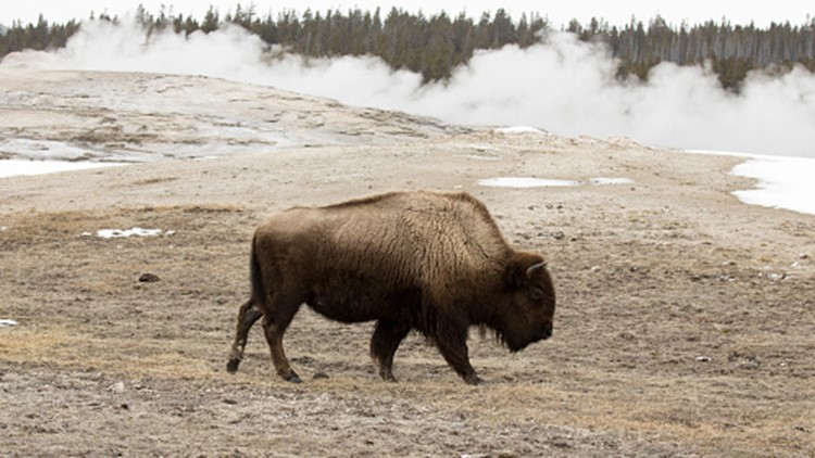 Woman gored by bison in Yellowstone after crowd gets too close