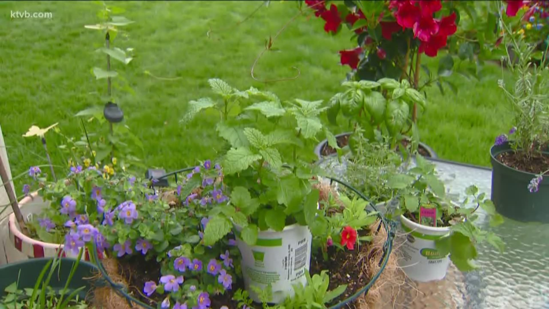 You Can Grow It Plants That Bugs And Mosquitoes Don T Like Ktvb Com