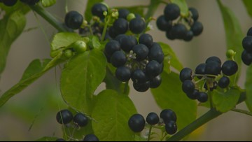 You Can Grow It: Growing huckleberries in your own backyard