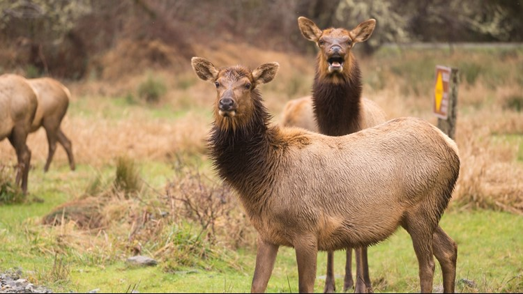Two women have been sent to the hospital after separate elk attacks behind the Mammoth Hot Springs Hotel.