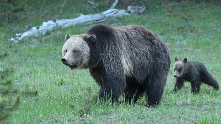 Trailrunner attacked by mother bear in Idaho's Fremont County