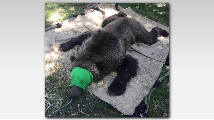 Officials say the young male bear appeared to have lost some of its fear of humans.