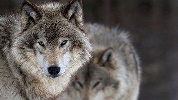 US plans to lift protections for gray wolves across Lower 48