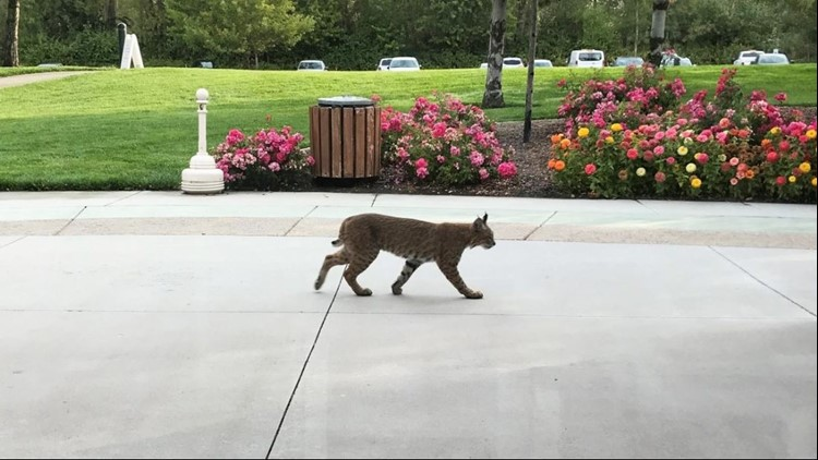 Bobcats are native to Idaho and have been sighted around the Treasure Valley in the past, although it is more unusual for the elusive creatures to venture into urban areas.