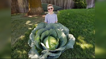 You Can Grow It: Growing cabbage to earn some cabbage