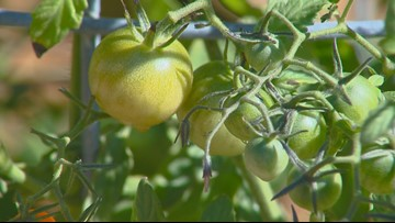 You Can Grow It: What to do with tomatoes