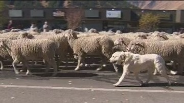 Dogs with Jobs: These pups keep an iconic Idaho sheep parade running smoothly