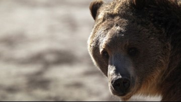 Authorities euthanize grizzly bear in northern Idaho
