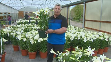 You Can Grow It: How to make your Easter lilies last longer