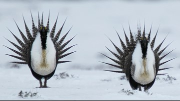 US eases land restrictions meant to protect sage grouse in the West