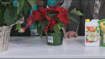 You Can Grow It - Keeping poinsettias red into the new year