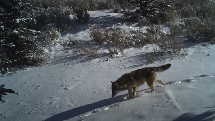 Groups: Idaho wolf law will cause grizzly bear, lynx deaths