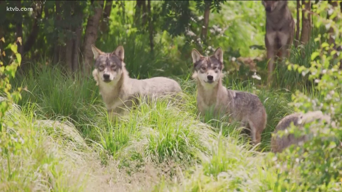 Petition filed to protect Idaho's wolves