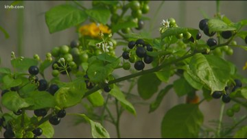 You Can Grow It: How to grow huckleberries in your backyard