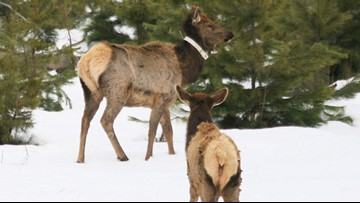 Fish and Game releases winter survival rates for elk, deer