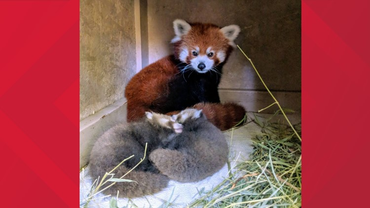 Zoo Boise welcomes two new red panda cubs