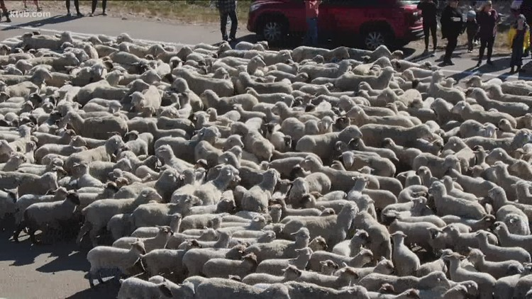 Domestic sheep cross Idaho Highway 55, head to Boise Foothills on Saturday