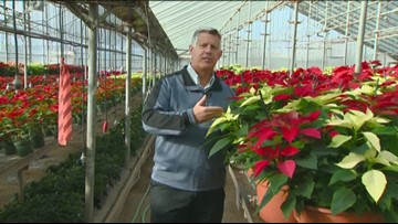 You Can Grow It - Poinsettias, brilliant colors for the holidays