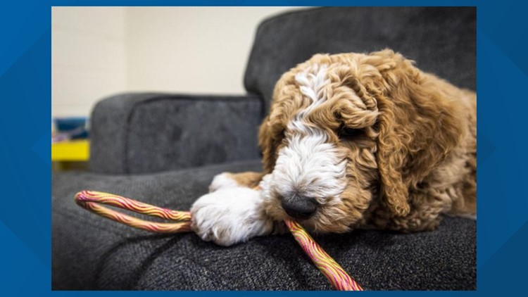 Puppy to serve as a comfort dog for abuse victims at Nampa Family Justice Center