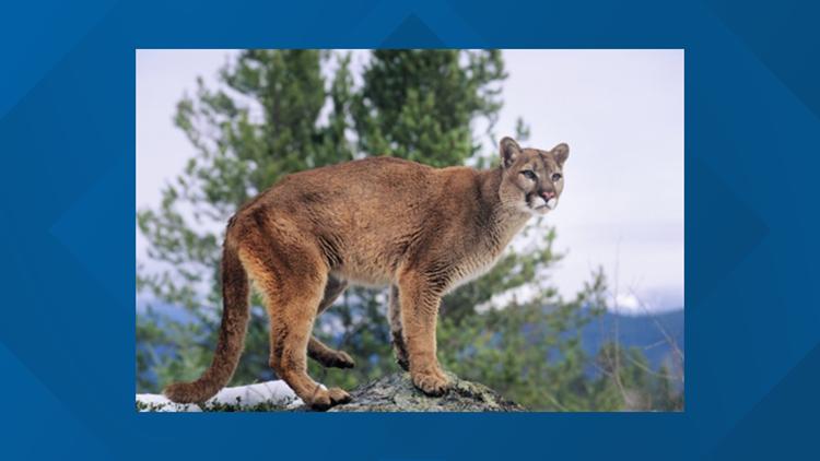 man kills mountain lion