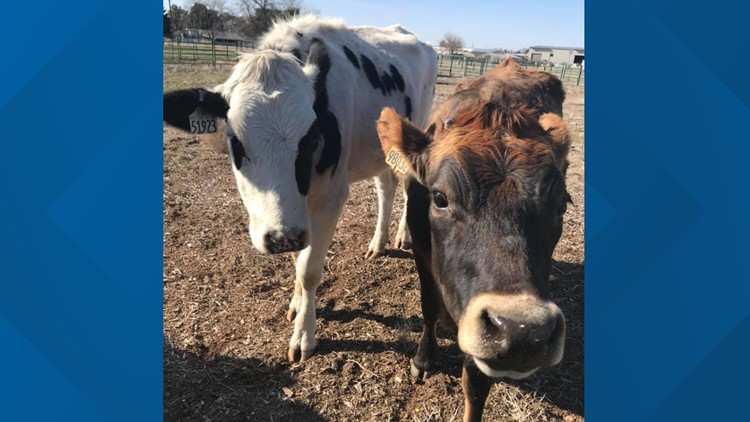 Idaho Humane Society searches for owners of 2 stray cows found in Kuna