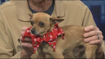 Stray 8 - Mickey is a 5-year-old Chihuahua that enjoys having his ears scratched.