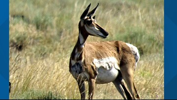 Fish and Game makes a significant investment to study Idaho's pronghorn
