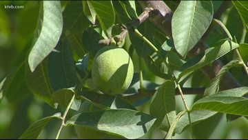 You Can Grow It: Field Fruit Day, sampling all Idaho has to offer