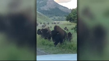 Charging bison damages rental car in Yellowstone