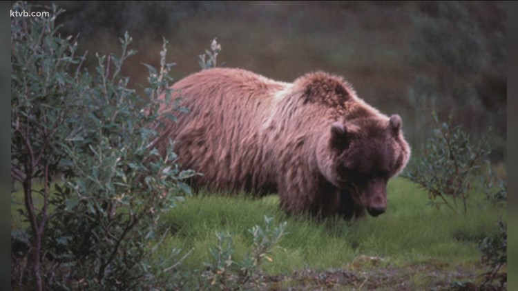 Rare grizzly bear confirmed in northern Idaho forest
