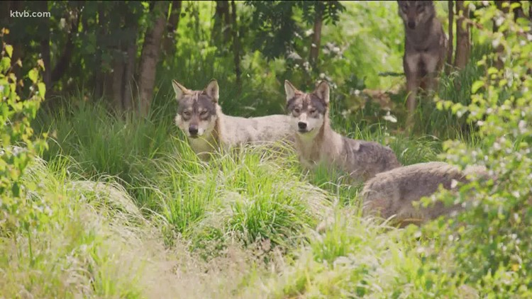 Coalition seeks relisting of gray wolves in US West