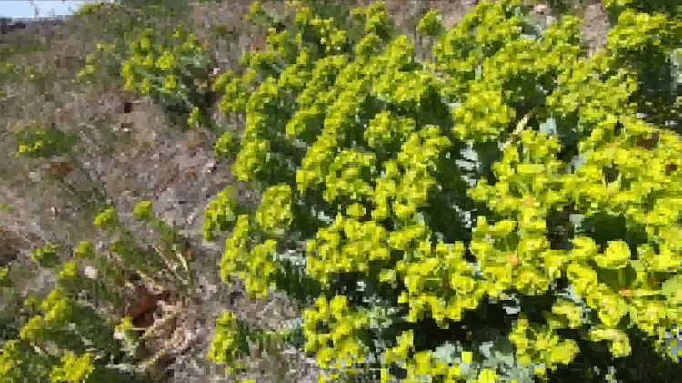 Boise Parks & Rec warns hikers to avoid toxic plants in the Foothills