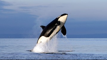 Feds propose major habitat protections for killer whales
