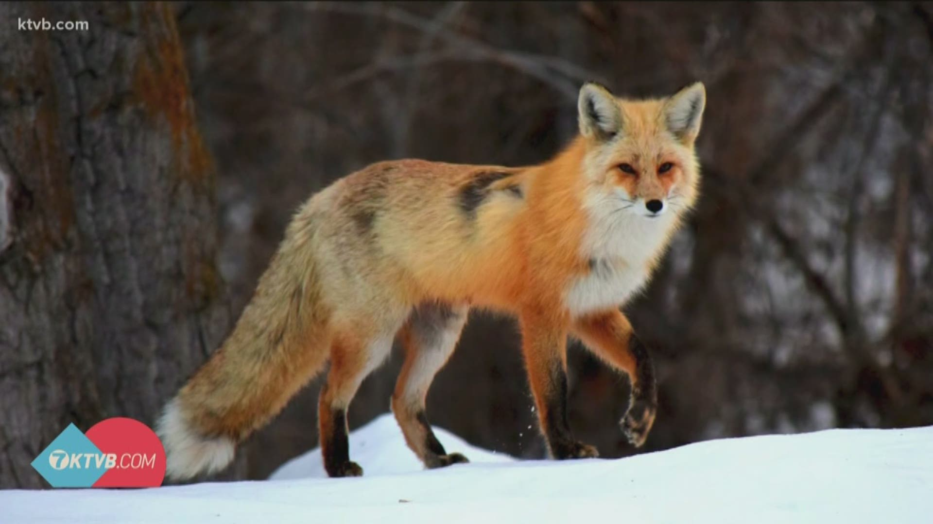The Foxes Of Mccall Man Shares Stunning Photos Of Local Wildlife Ktvb Com