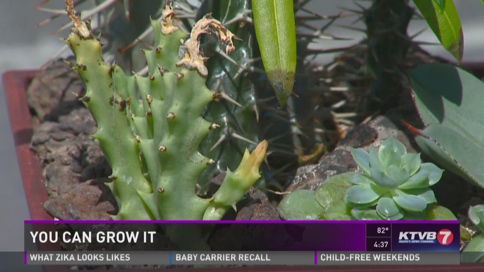 You Can Grow It Growing Succulents Ktvb Com