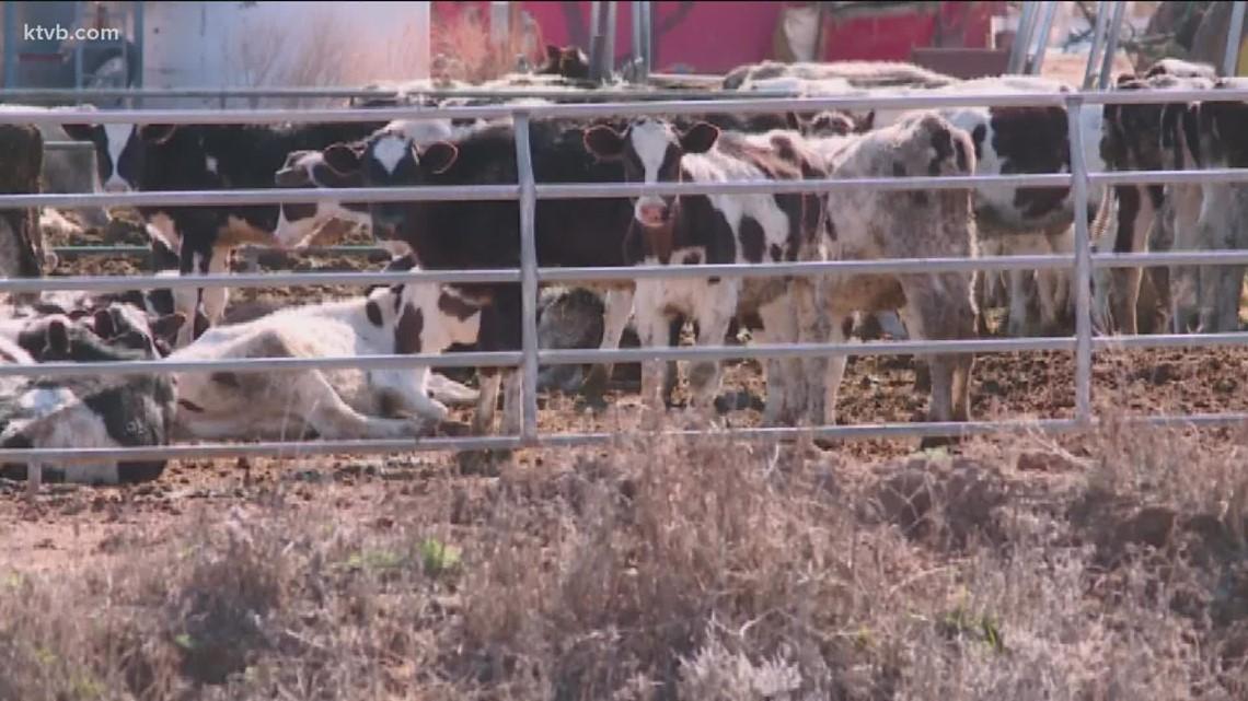 Idaho dairy industry hurt by record heat