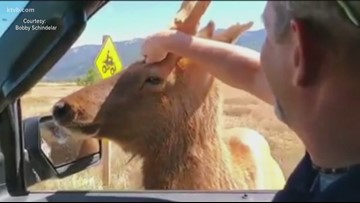 'Holy cow, that's Elliot': Star man describes meeting Elliot the Friendly Elk while camping in Bear Valley