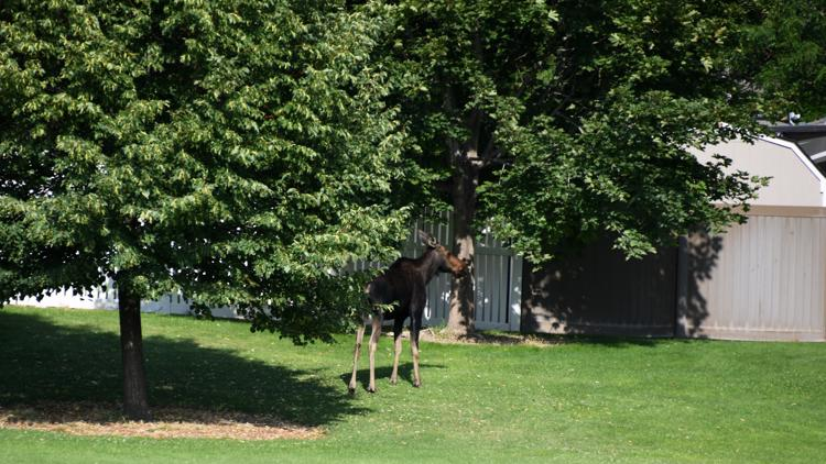 Moose on the loose in Twin Falls, darted by Fish and Game, relocated