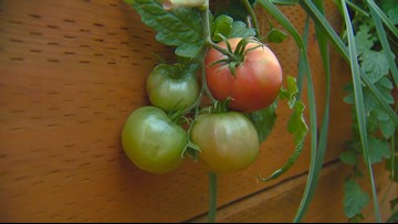 You Can Grow It: My favorite tomatoes