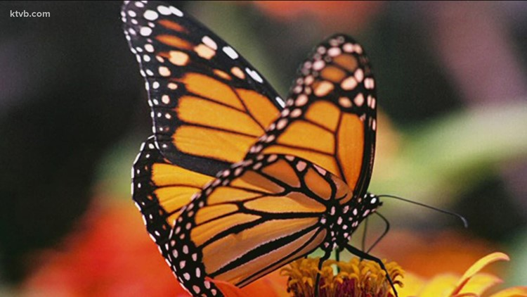 You Can Grow It: How you can help honeybees and butterflies in your garden
