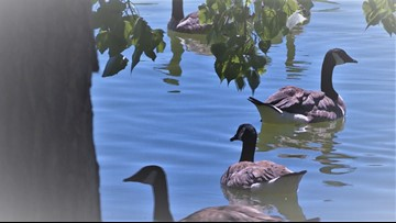 Denver is rounding up geese to be killed and donated as meat to needy families