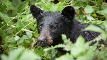 Colorado man bitten by black bear that was shot by hunting partner