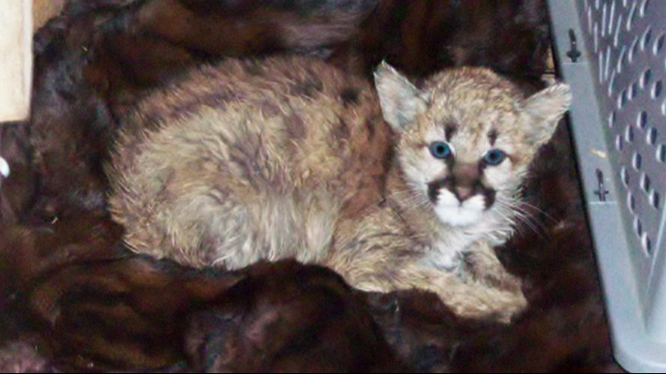mountain_lion_1542327753646.png