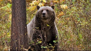 Montana grizzly deaths spur pushback