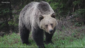 3 hunters injured in 2 Montana grizzly attacks