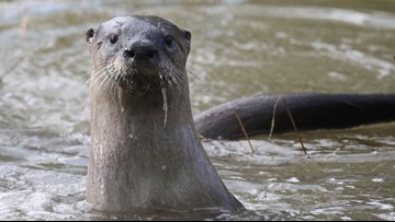 College of Western Idaho selects otter mascot as an ode to former governor