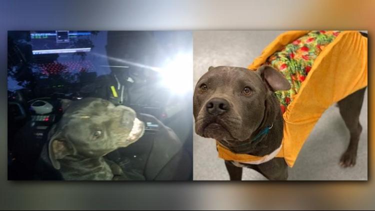 Pitbull hijacks Texas police vehicle, eats officer's beef jerky