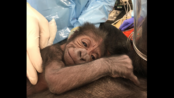 How an OB/GYN ended up delivering a baby gorilla